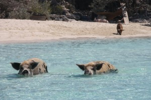 Swimming pigs!  They don't look that big from a distance and then you get up close!