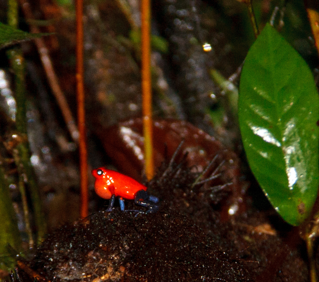 Poison dart tree frog.  It was a red spot on a fallen tree branch.  A guide could hear it, before he saw it.
