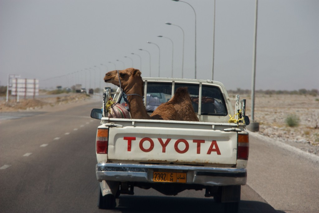 We saw camels. This one was hitching a ride in the back of a truck.